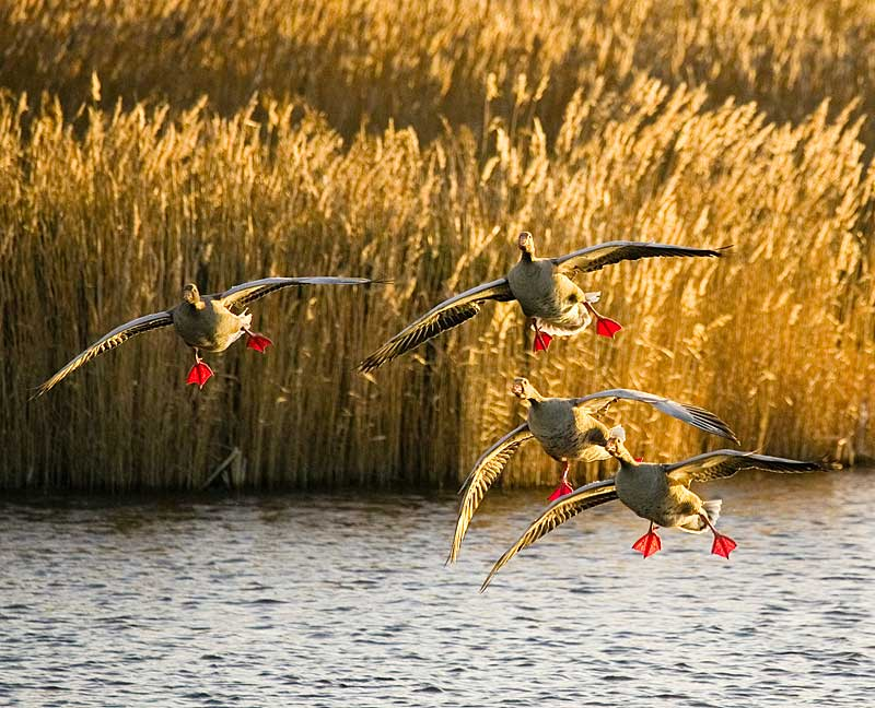Greylag Geese flying in to land on a lake at RSPB Fowlmere